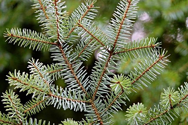 Abies Grandis ou Sapin de Vancouver | Forest Time