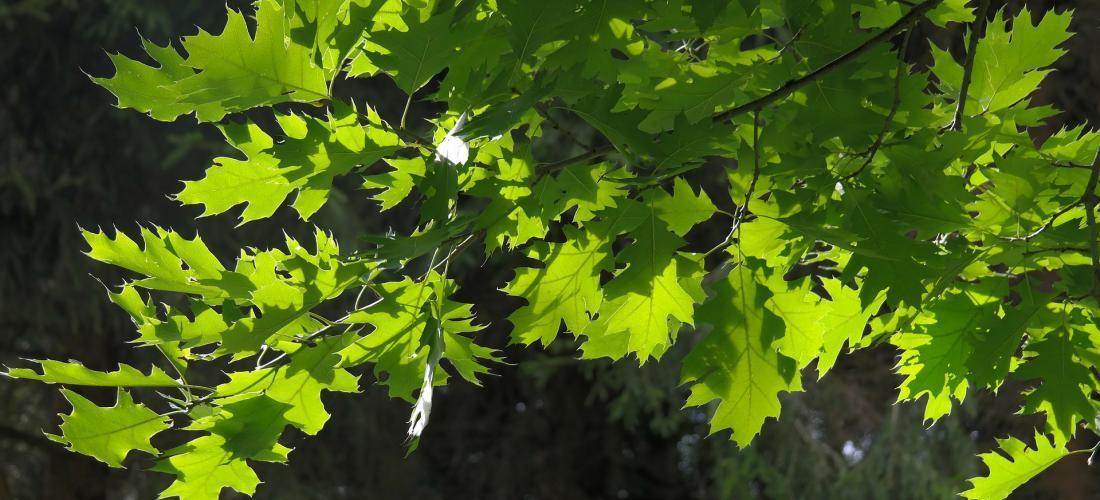 1ea0cf1f2b Chêne Rouge d'Amérique | Forest Time