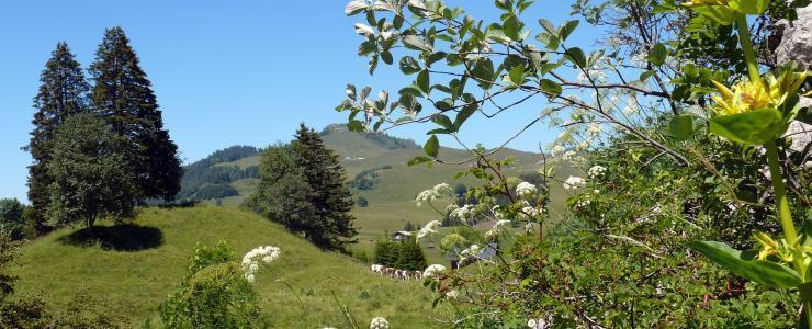 74 Haute-Savoie - Principal département producteur d'épicéas