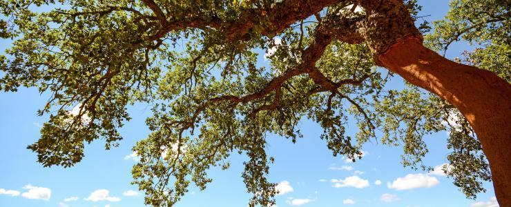 Le chêne-liège, un arbre généreux