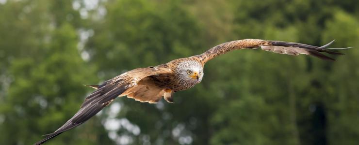 A Cetraria (caça ao voo)
