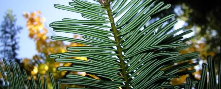 Abies Grandis or Vancouver fir