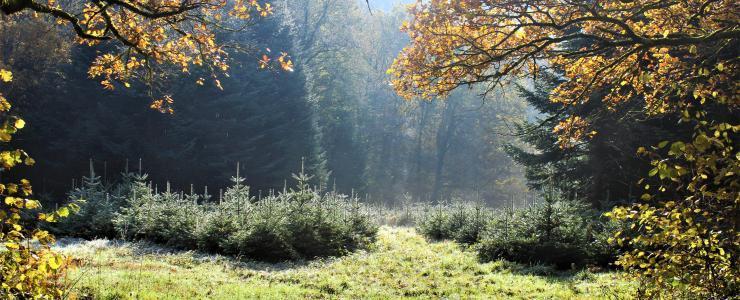 Le sapin de Noël pousse aussi en Auvergne !