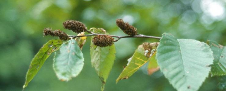 Betula alleghaniensis (bétula-amarela)
