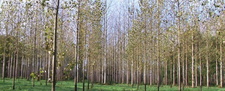 Poplar forest in Gascony