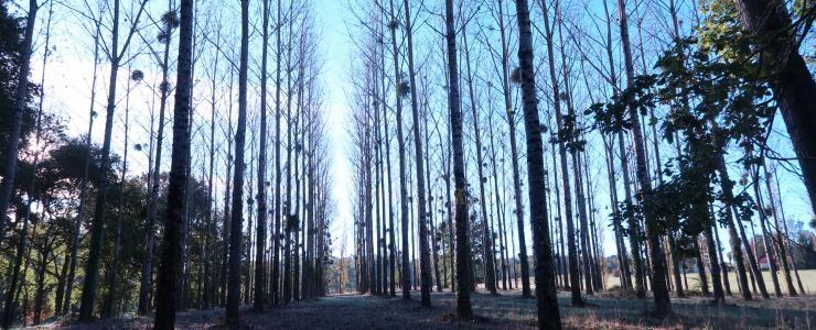 Poplar wood in Gers